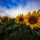 Sunflower Fields by yolanda