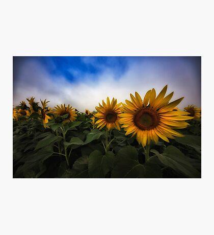 Sunflower Fields Photographic Print