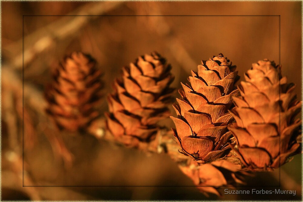 winter cones in evening sunshine by Suzanne Forbes-Murray