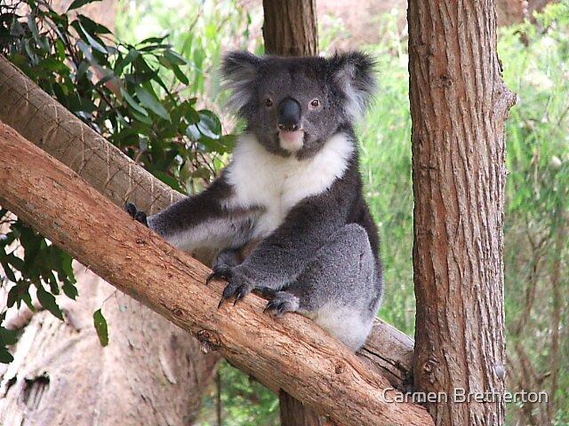 Koala by Carmen Bretherton
