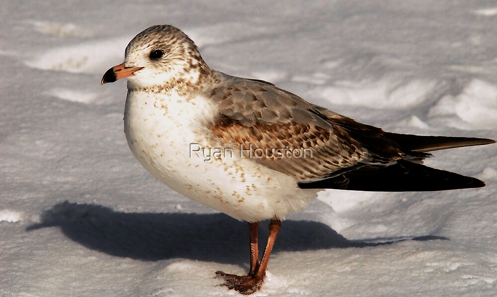 Young Seagull by Ryan Houston