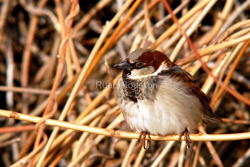 Male Sparrow, Millcreek, Utah by Ryan Houston