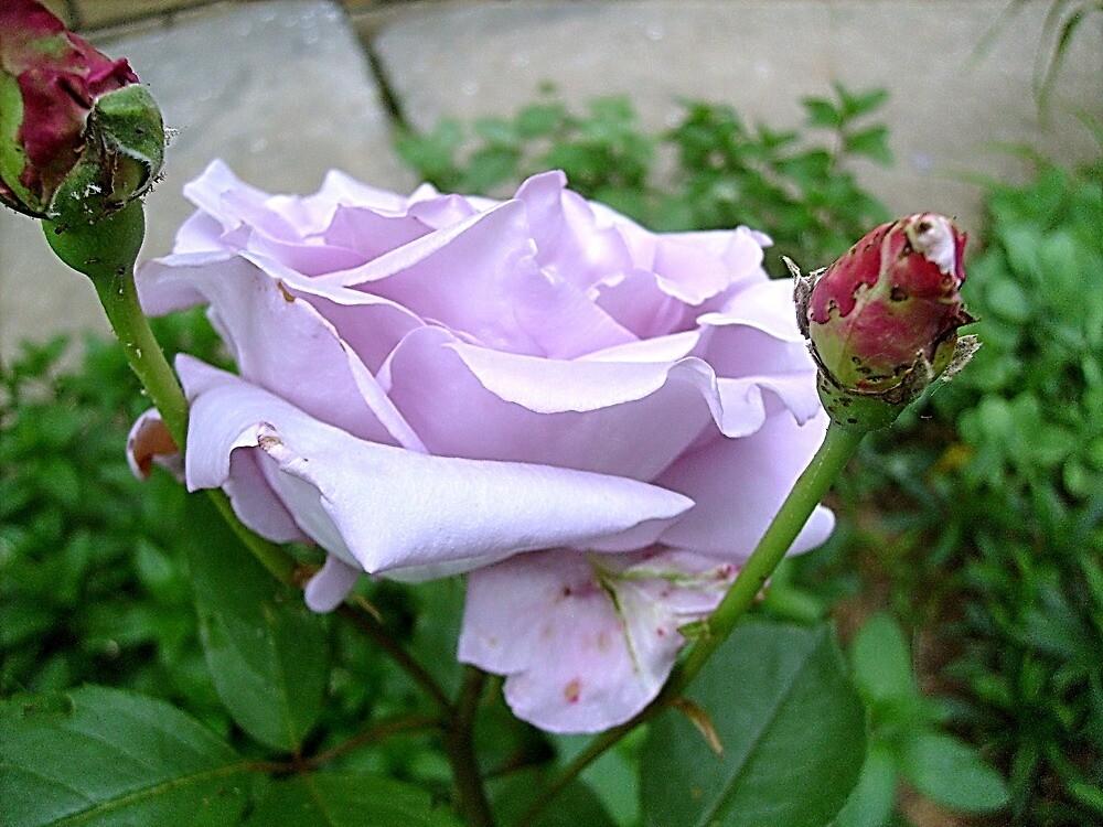 Purple beauty by Ana Belaj