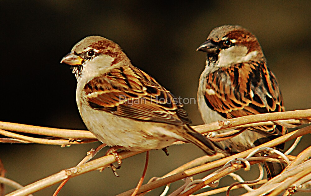 Male House Sparrows by Ryan Houston