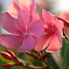 Oleander by Lucy Hollis