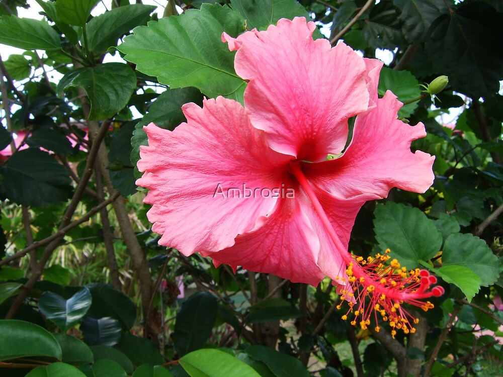 Pink Hibiscus by Kim Collins