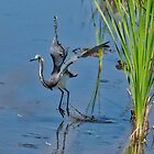 Tri-Colored Heron Takes Off by TJ Baccari Photography