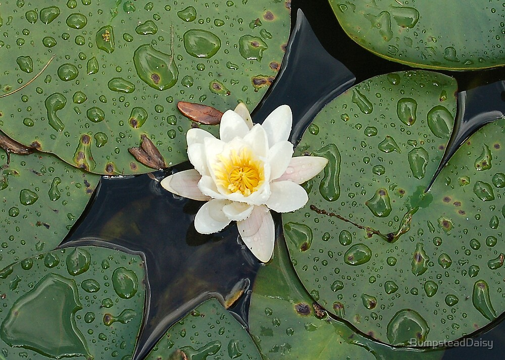 Water Lily by BumpsteadDaisy