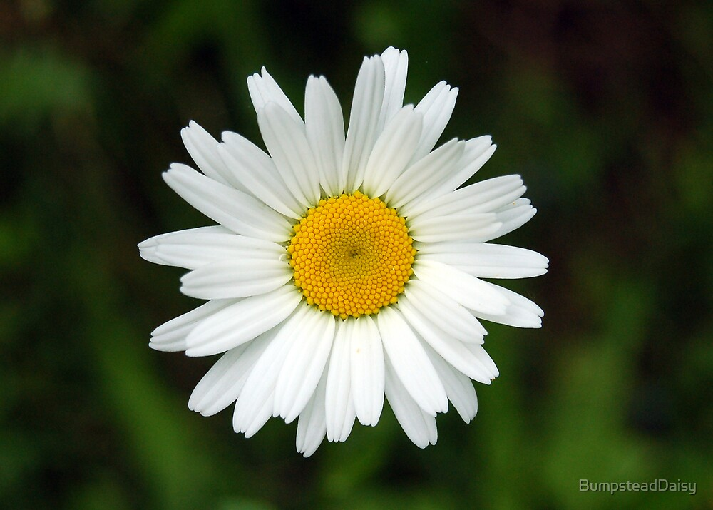 Daisy by BumpsteadDaisy