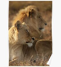 Lions under warm African Sun Poster