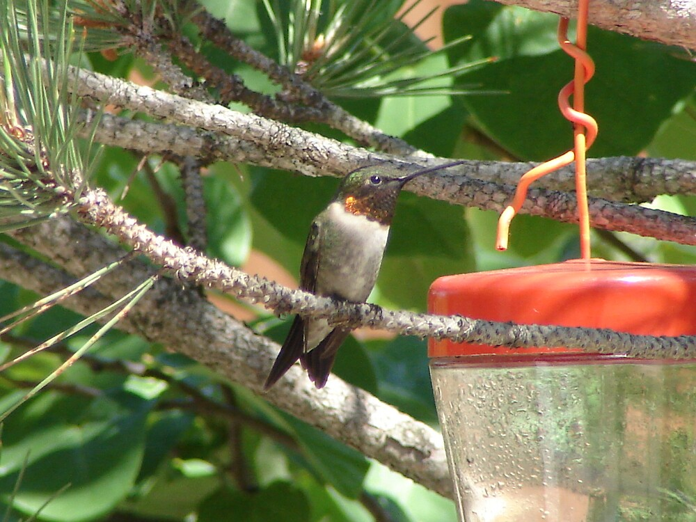 Perched Humming bird by inventor