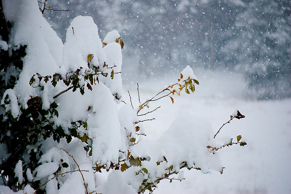 Snow Covered Tree by juliekay