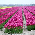 Dutch tulip field by jchanders