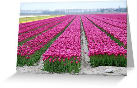 Dutch tulip field by jchanders