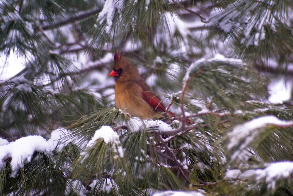 Cardinal Waiting by Rod  Adams