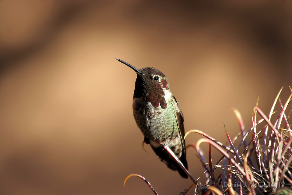 Hummingbird by Daniel J. McCauley IV