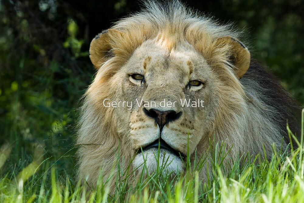 Lion in Grass by Gerry Van der Walt