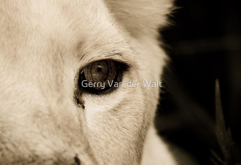 Lion Eye by Gerry Van der Walt