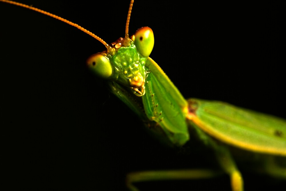 Mantis by Colin  Ewington