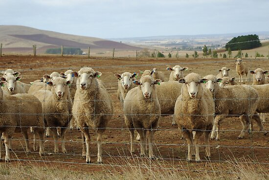 What are ewe's looking at? by Kerry  Hill