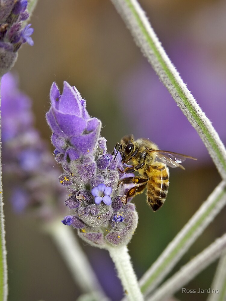 Bee on Lavender by Ross Jardine