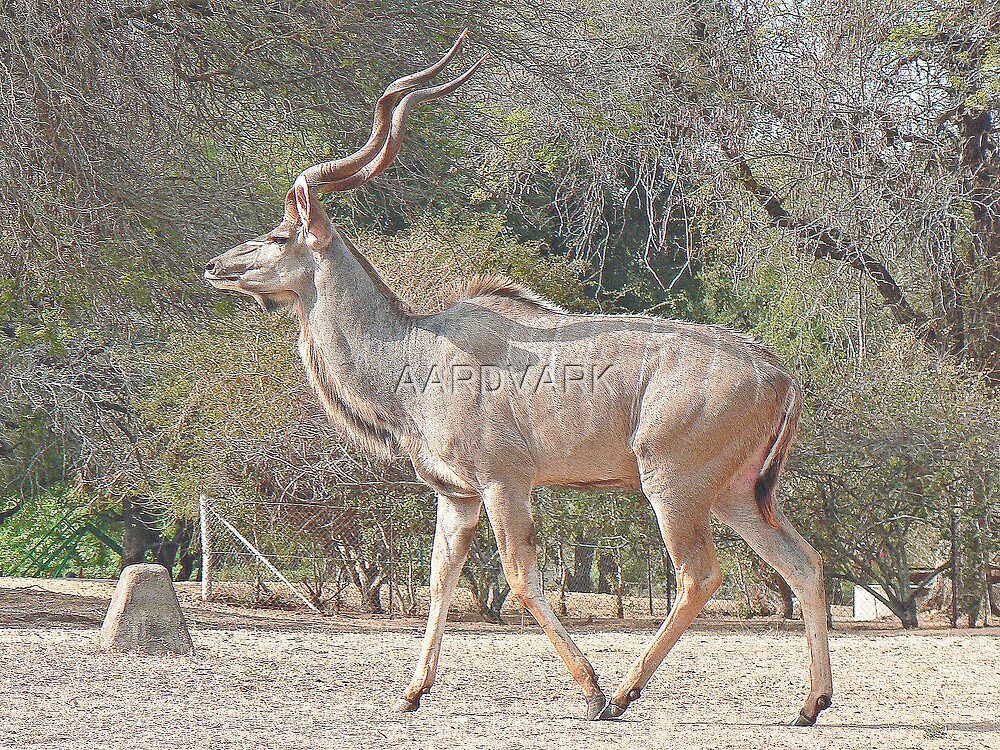 A Kudu Going To Fiona's Wedding by AARDVARK