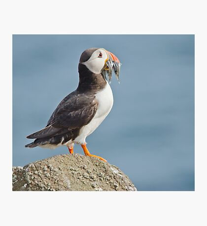 Puffin with sandeels Photographic Print