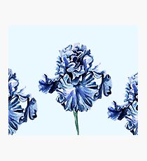 Dutch Iris - cornflower blue Photographic Print