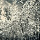 A Dogwood in the Springtime Woods - Black and White by MotherNature2