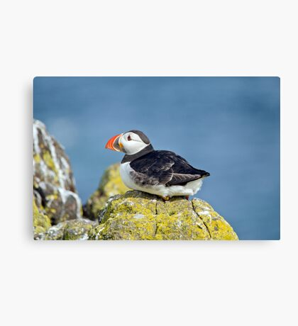 Puffin on the rocks Canvas Print