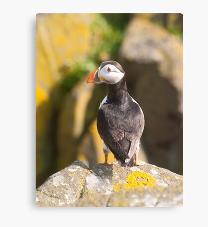 Puffin ~ Isle of May Canvas Print