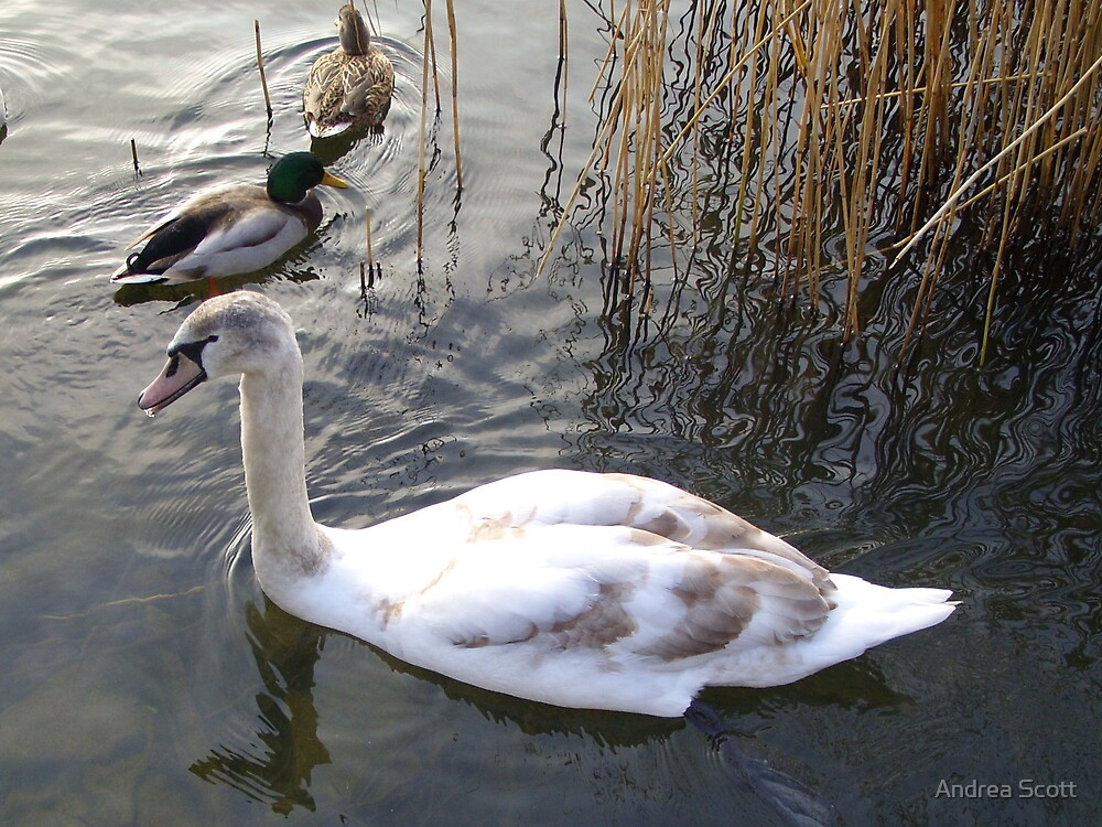 Cygnet 2 by Andrea Scott