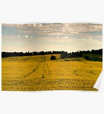 Canola Gold Poster