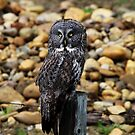 Great Grey Owl by Alyce Taylor