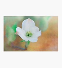 Dogwood 6 Photographic Print