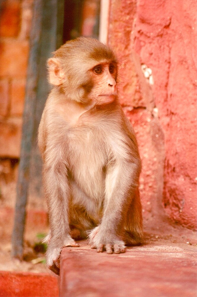 Monkey on a wall by sasjacobs