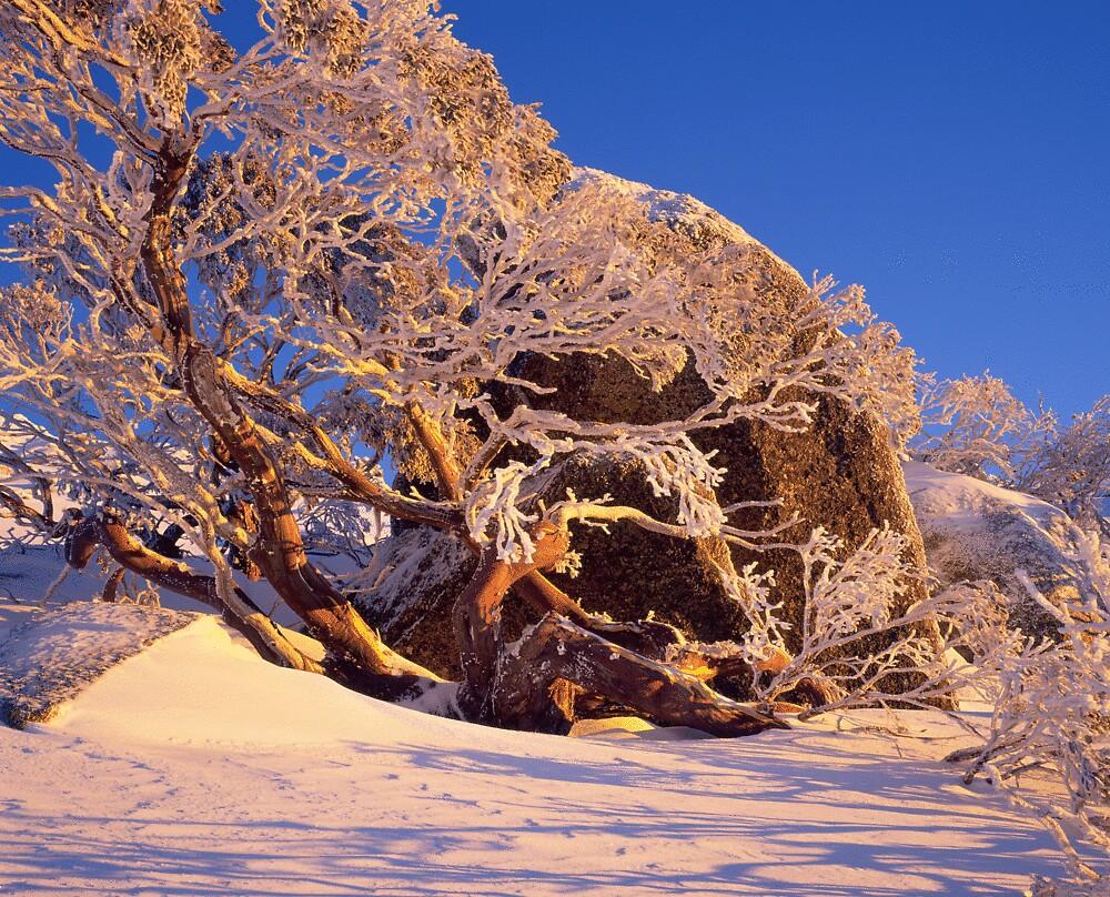 Icy snowgum by gerard