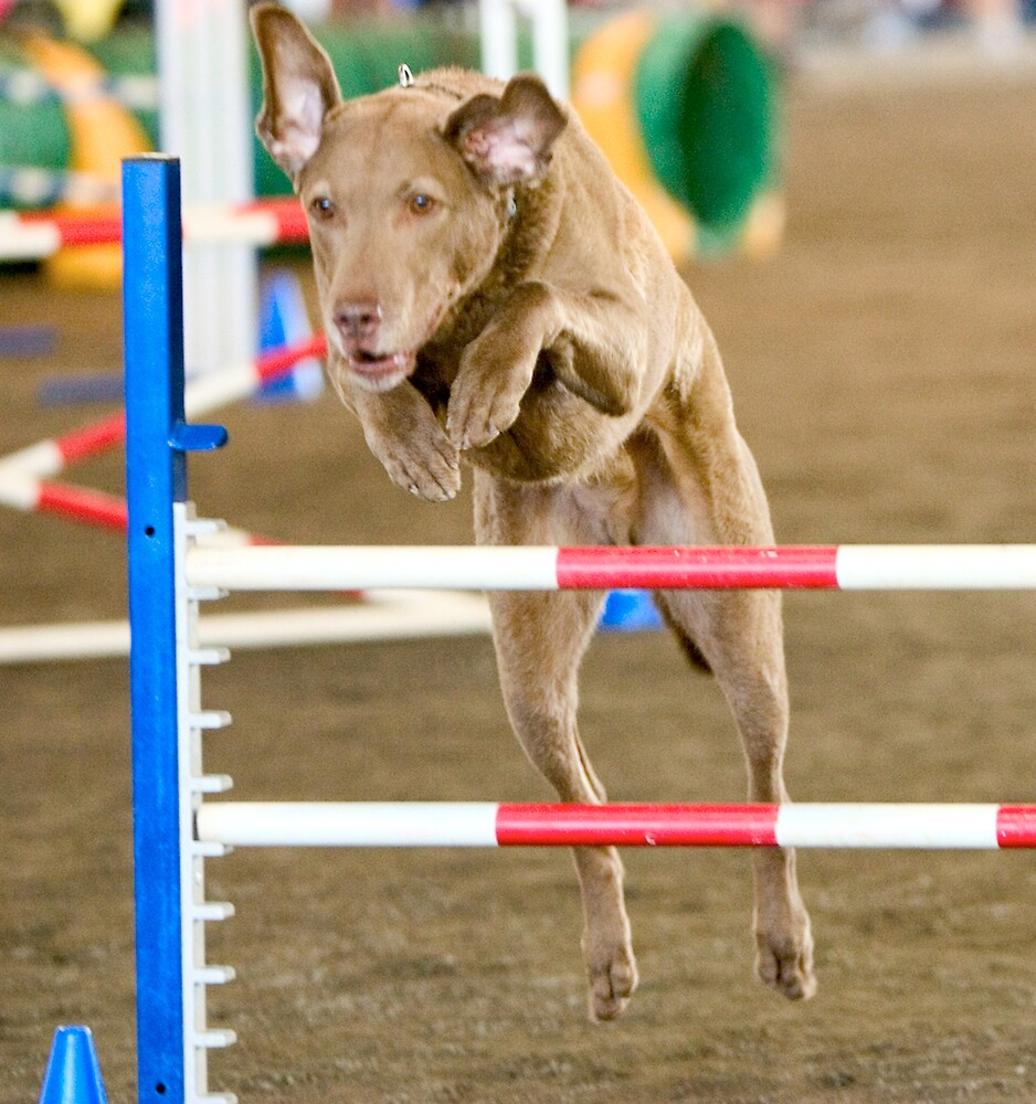 Tan Dog doing Agility  by Phillip S. Vullo Jr.