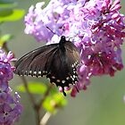 Swallowtail Butterfly On A Purple Lilac by Laura Puglia