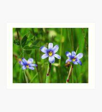 Blue -Eyed Grass photo Art Print