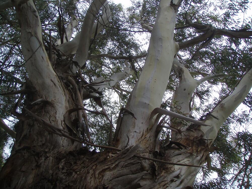 """multi-legged"" tree at Wynyard's Gutteridge Gardens, peeling bark skin by gaylene"