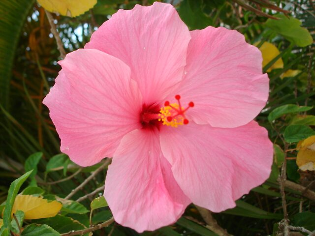 Pink Flower by Dario  da Silva