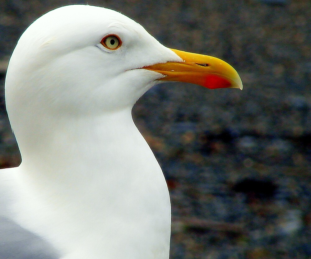 Seagull by LindainSC