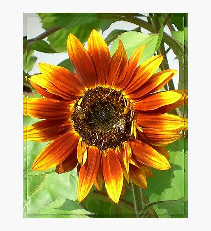 Bees on Red Sunflower Photographic Print