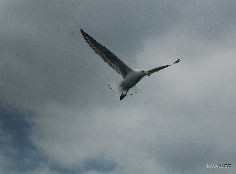 Seagull in flight.  by lettie1957