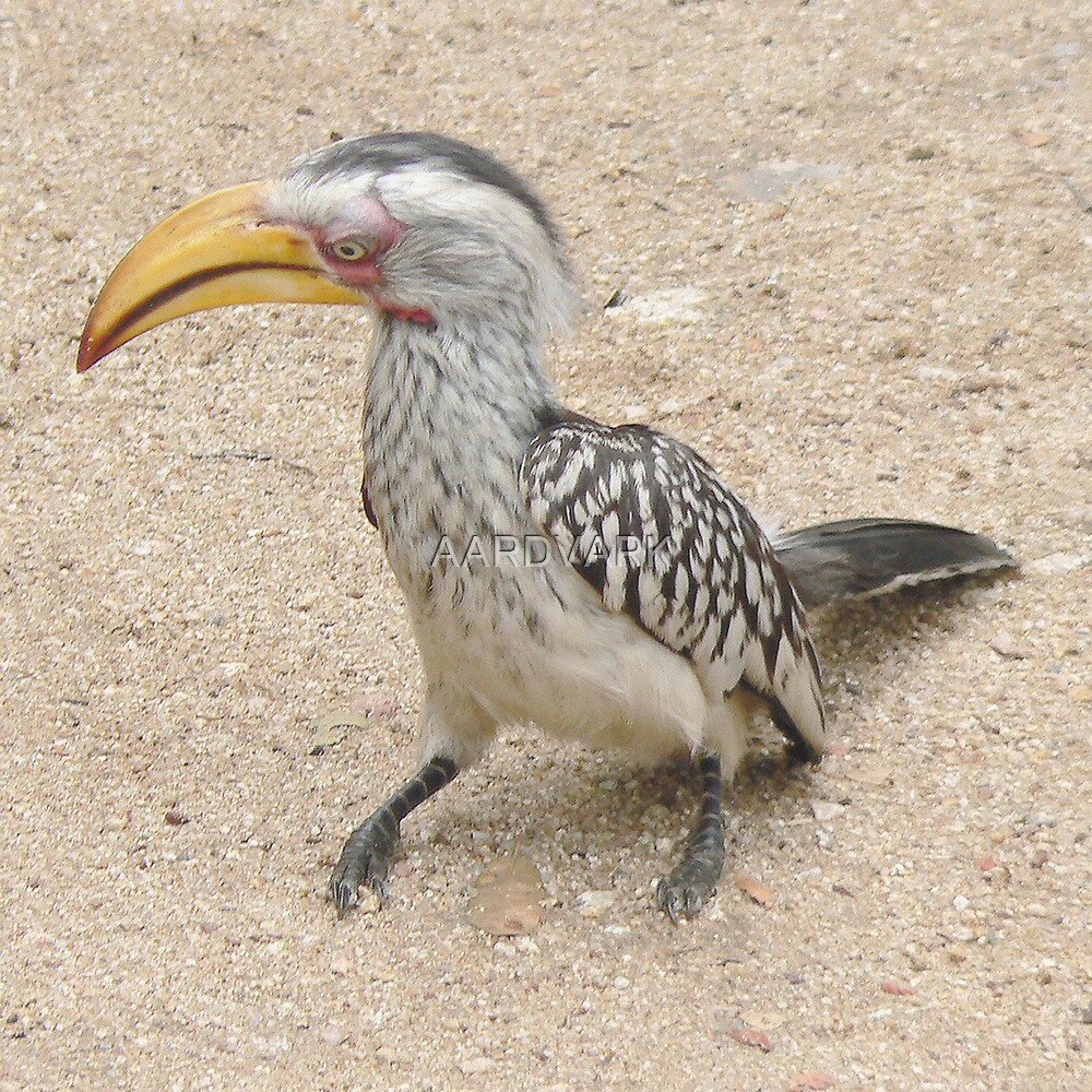 Southern Yellow-billed Hornbill  (I) by AARDVARK