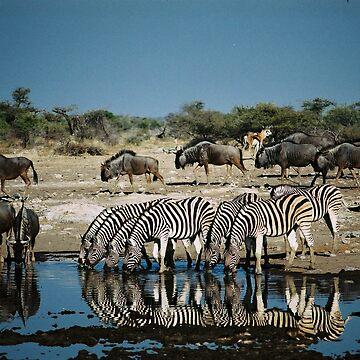 Zerbra drinking in mirror water by bwbpro