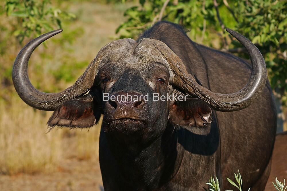 Cape Buffalo in the African Sun  by Bernhard Bekker
