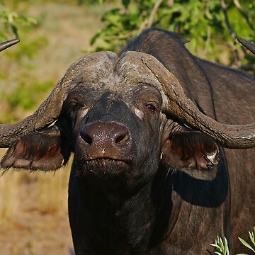 Cape Buffalo in the African Sun  by bwbpro