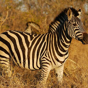 Zebra in afternoon sunlight by bwbpro